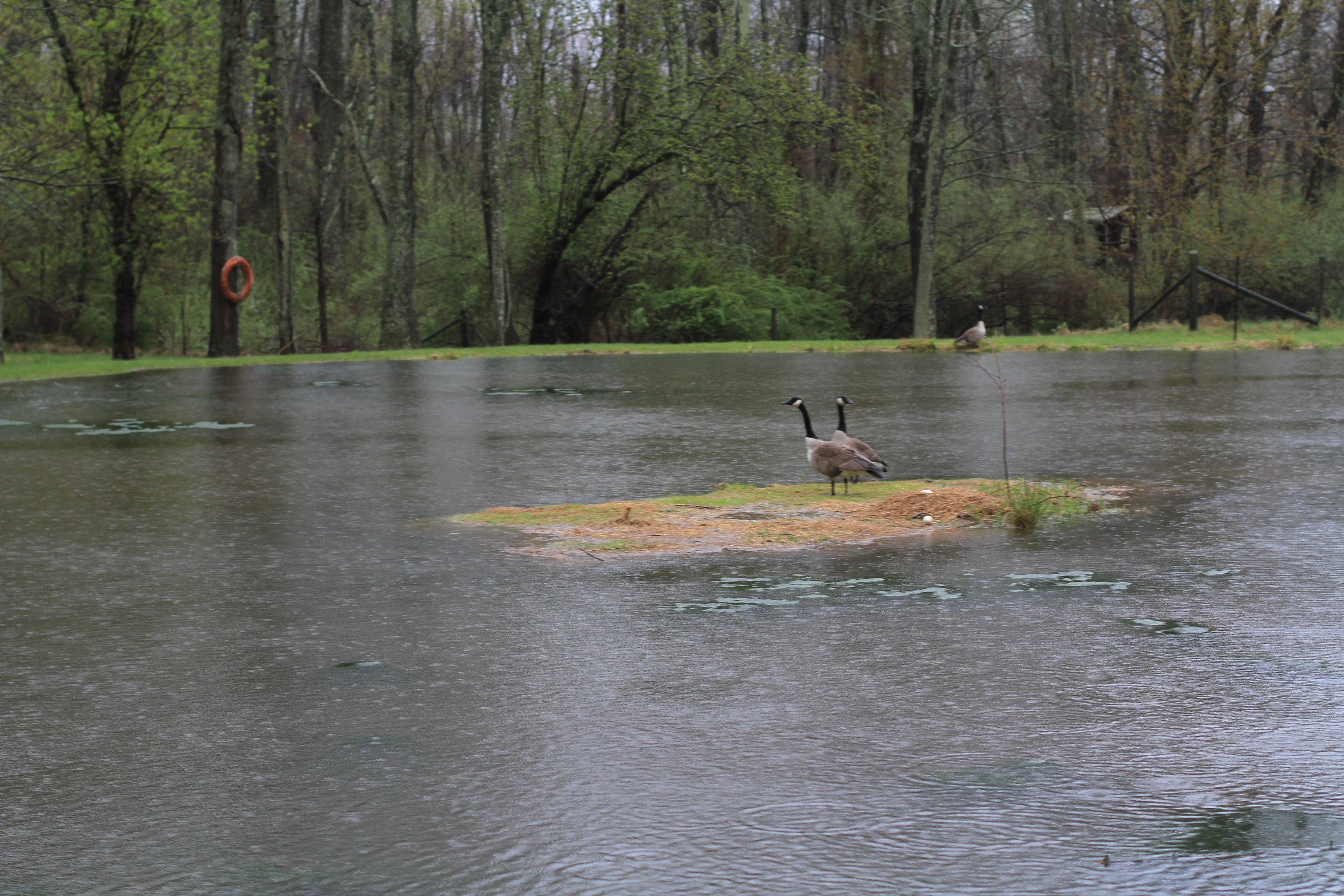 Geese on island in flooded pond