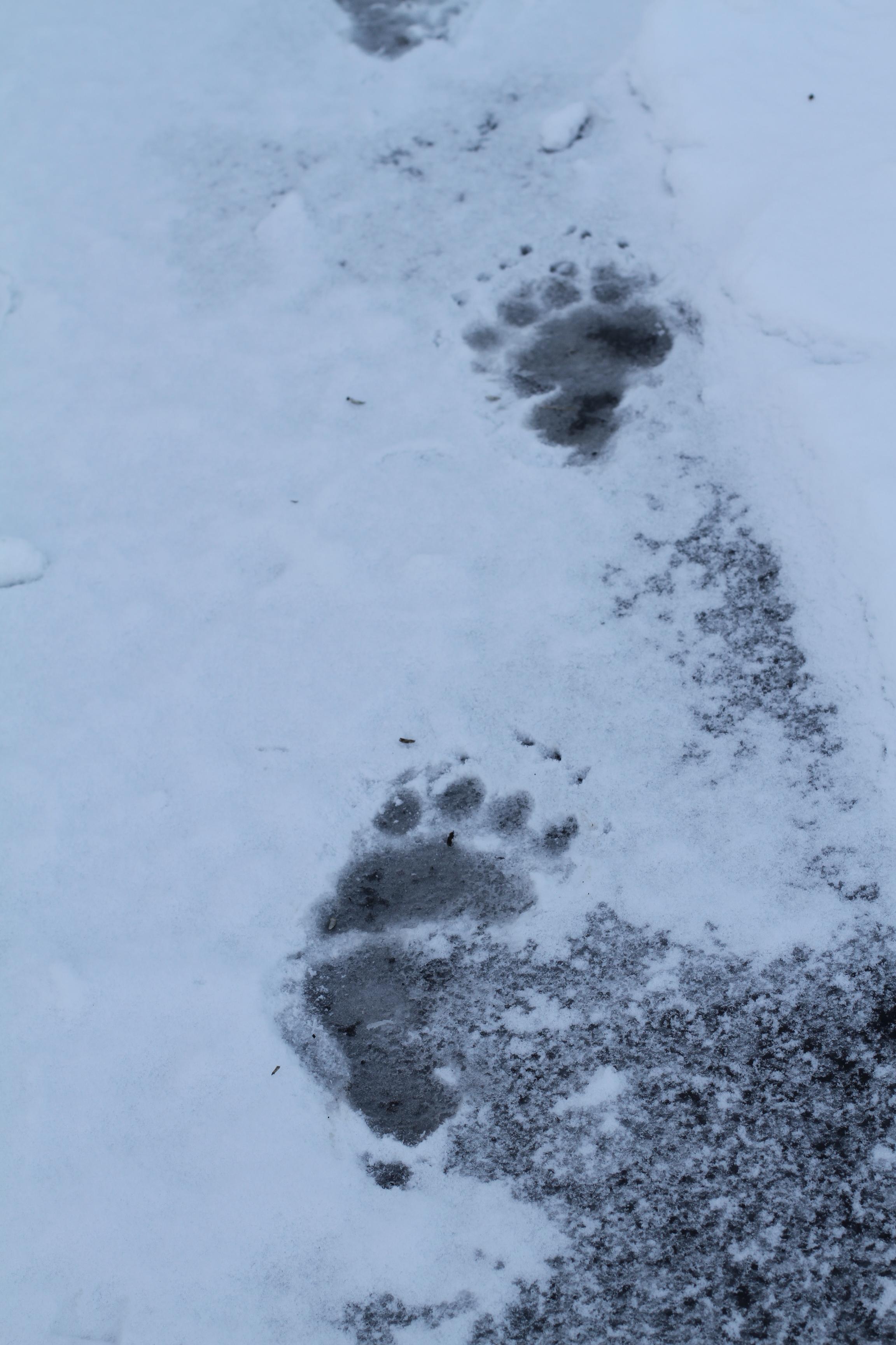 Black Bear Prints in Snow