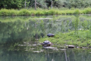 Snapping Turtles Resting Between Battles