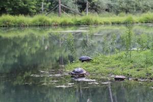 Snapping Turtles Resting Between Battles