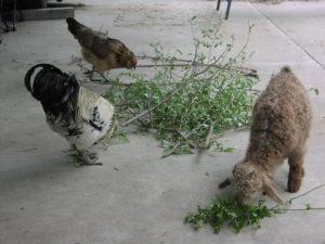 Sienna (Angora Goat) with Ameraucana Chickens
